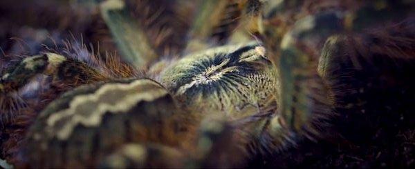 dancing-tarantula