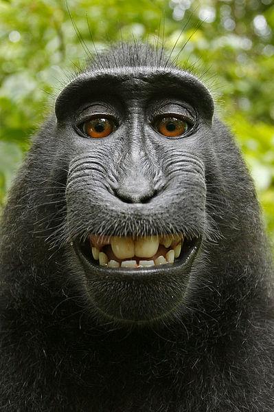 Macaca_nigra_self-portrait-wikimedia