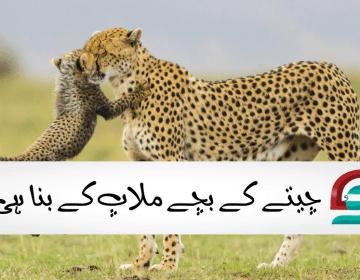 چیتے کے بچے ملاپ کے بنا ہی پیدا