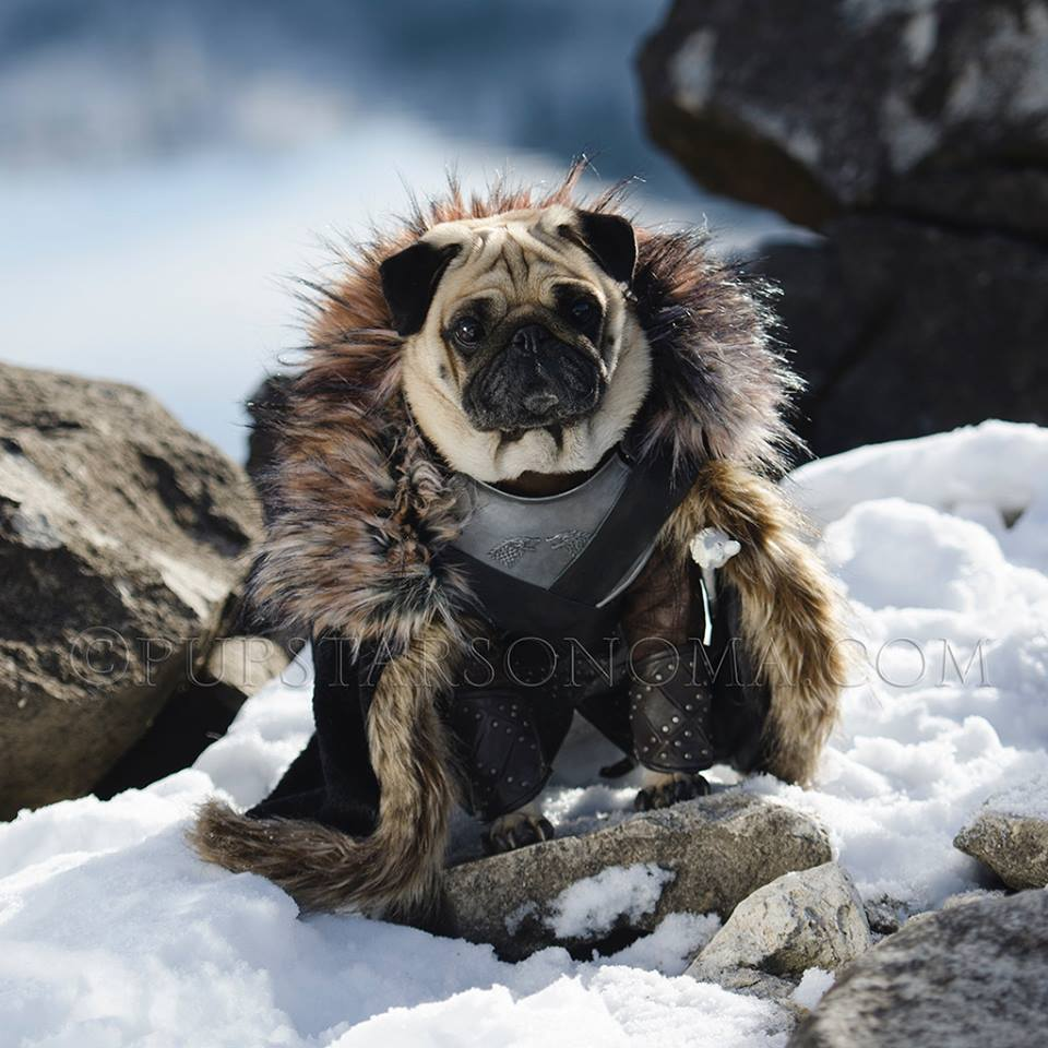 Jon Snow  Daenerys Targaryen Game of Thrones Pugs