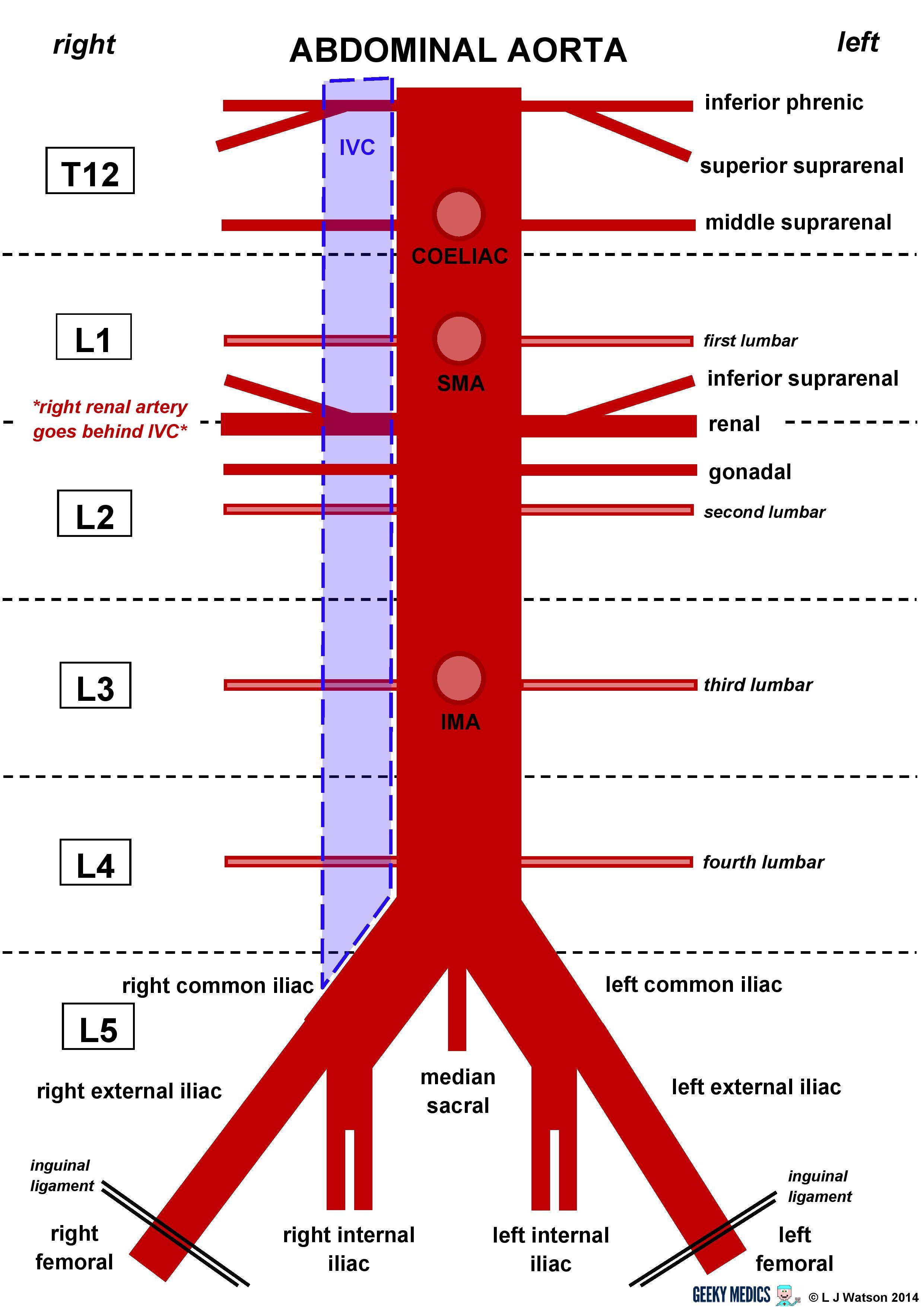 Abdominal Aorta