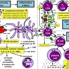 Diagram Of Adaptive Immune Response Flow Wiring 7 Pin Trailer Plug Cell Types Geeky Medics
