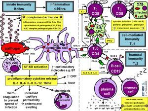Immune Response | Immune Cell Types | Geeky Medics