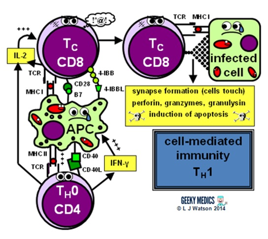 diagram of adaptive immune response flow fuse wiring | cell types geeky medics