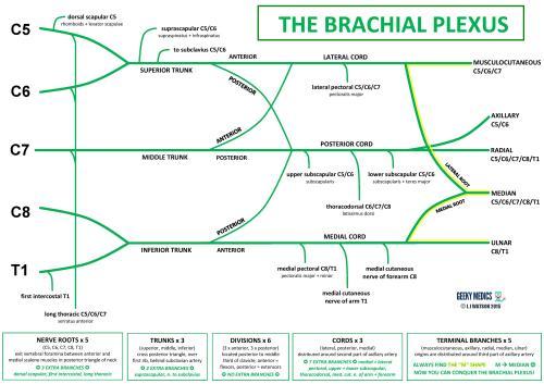 small resolution of brachial plexus diagram