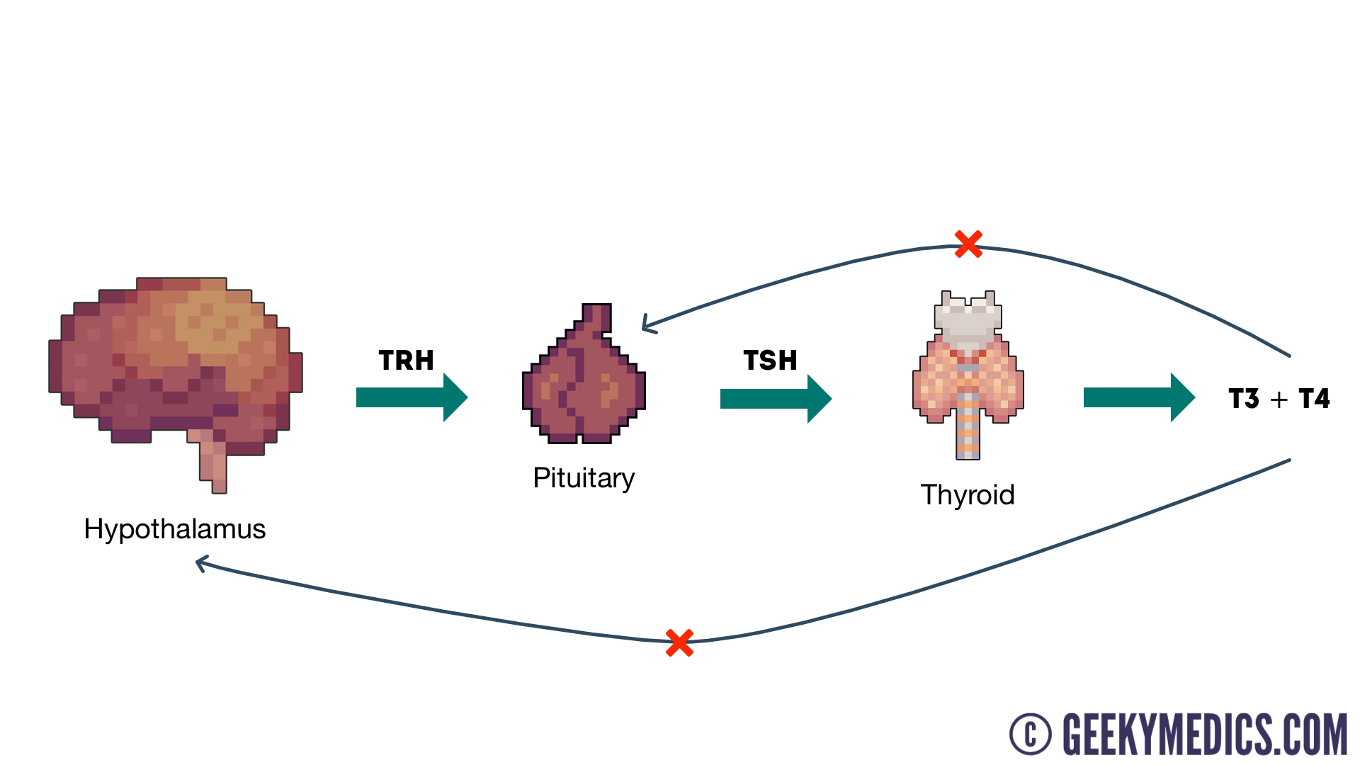 hight resolution of thyroid hormonal axis diagram