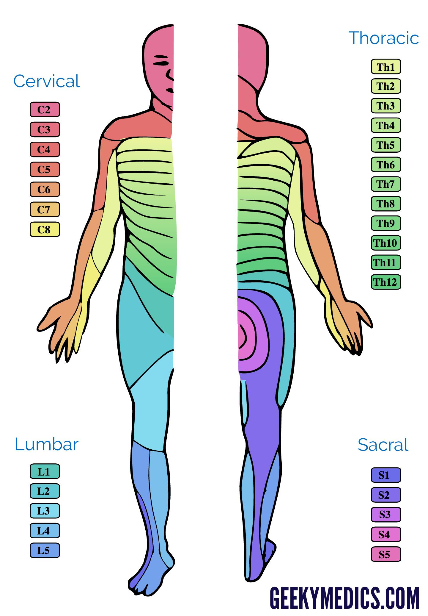 l4 nerve pain diagram 4l80e transmission parts dermatomes and myotomes anatomy geeky medics