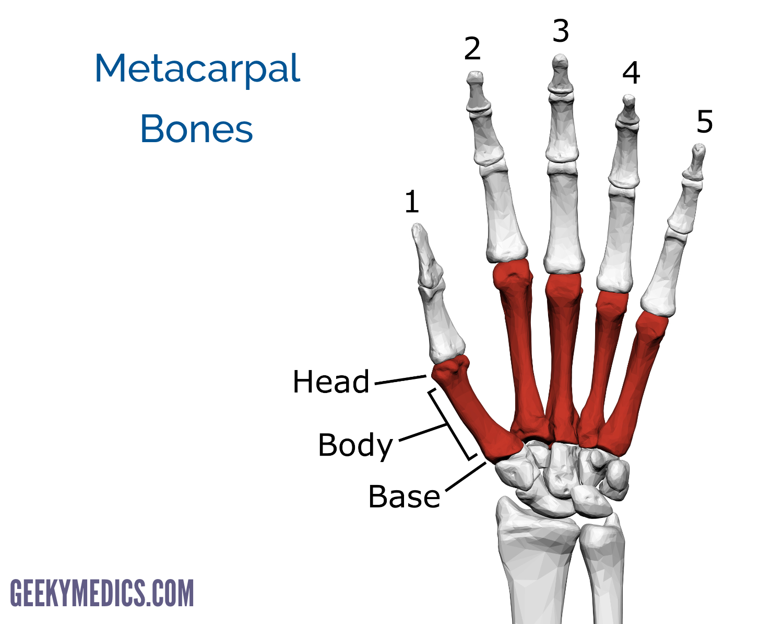 Bones Of The Hand Carpal Bones