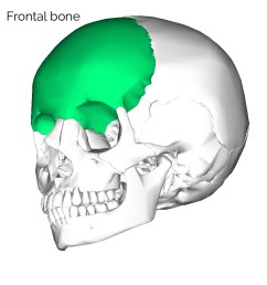 frontal skull bone 3 [ 900 x 900 Pixel ]