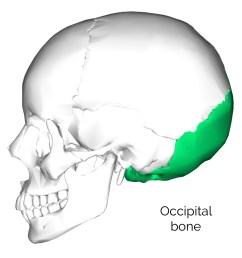 occipital bone 3 [ 1000 x 1000 Pixel ]