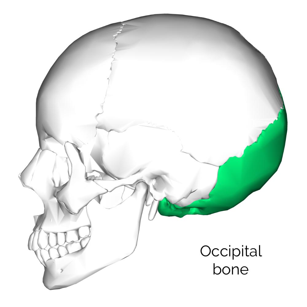 medium resolution of occipital bone 3