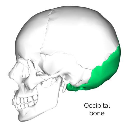 small resolution of occipital bone 3