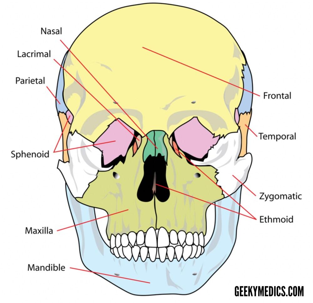 medium resolution of skull bones anterior 2