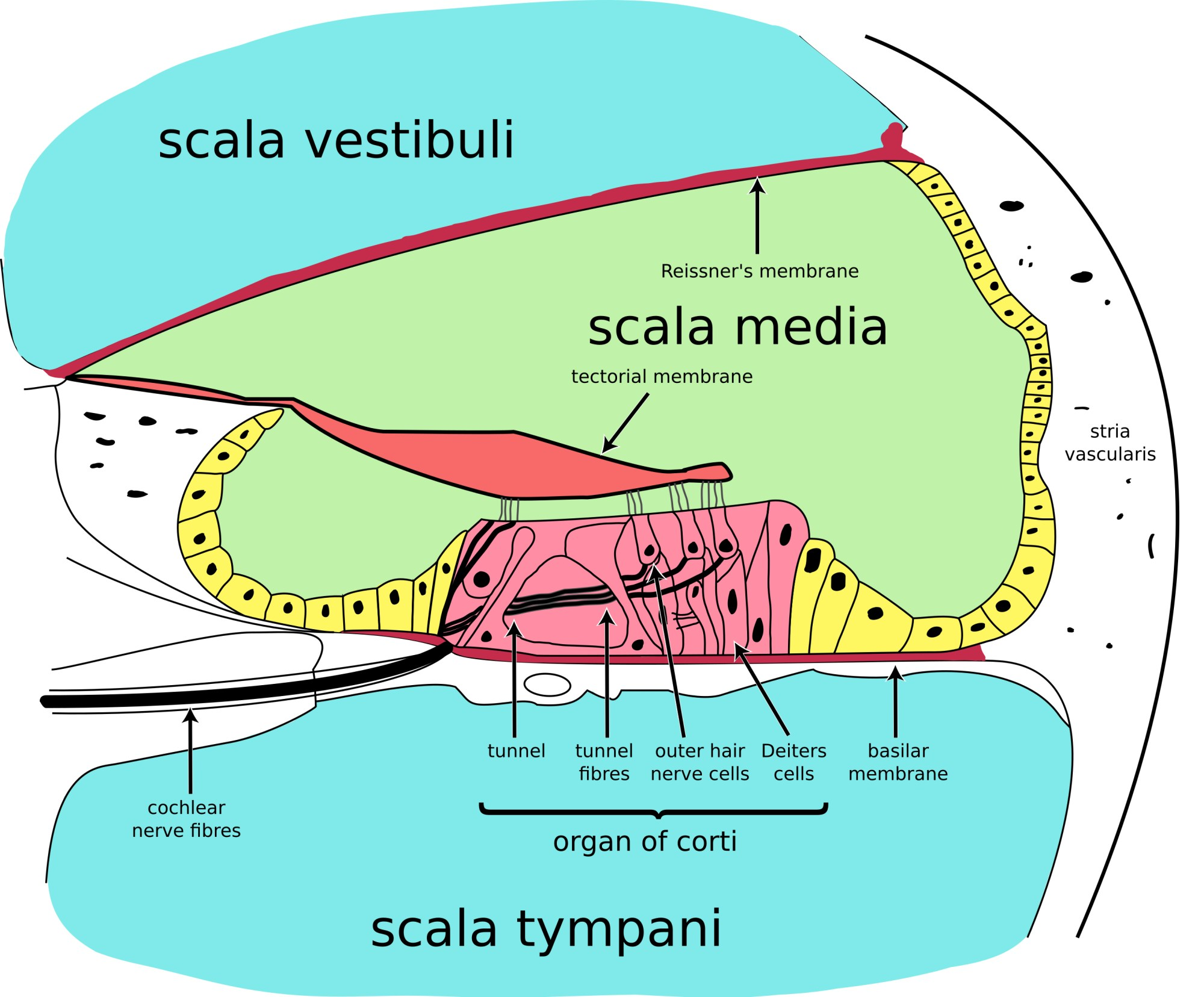 hight resolution of cochlear cross section 4