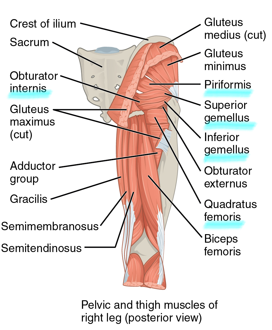 medium resolution of a diagram highlighting the deep gluteal muscles 1