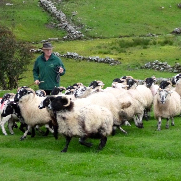Sheep herding in Ireland