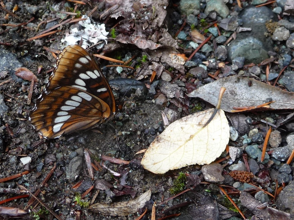The last butterfly of the year?