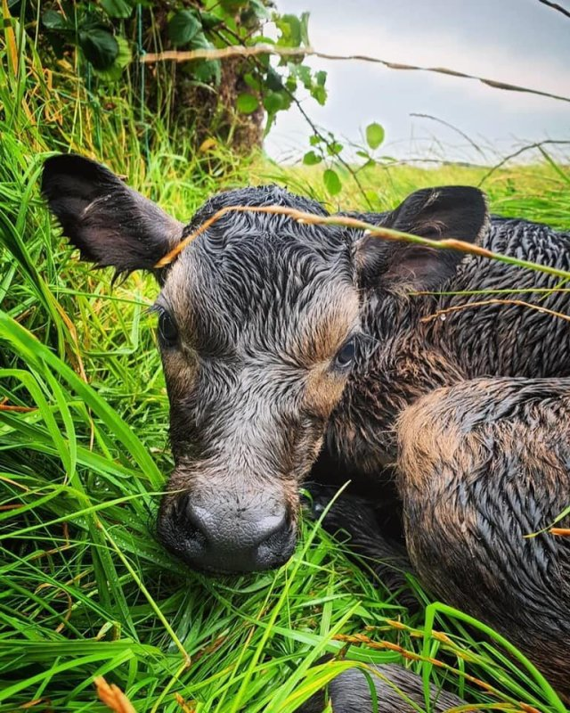 - In extremely cute news, this week, Isle of Man Creameries introduced us all to a brand new addition to their team. A gorgeous baby calf born at Southampton Farm in Port Soderick. Brought into the world by farmers in the rain during an internet crisis, the baby is, I imagine, completely oblivious to all that.