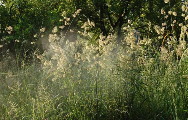 Knaulgras-Pollenkonzentration
