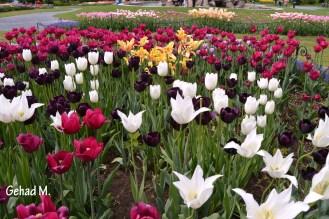 Tulip Festival 2014 - Washington Park