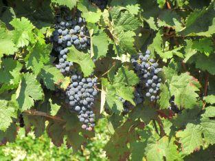 Überall wächst Wein
