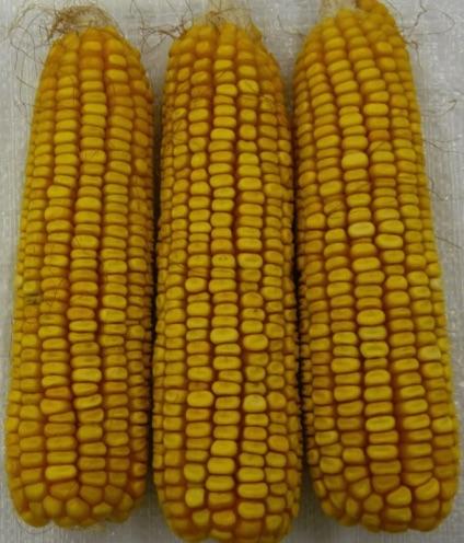 GEI9700-2waxy-corn