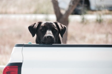 Dogs in America II