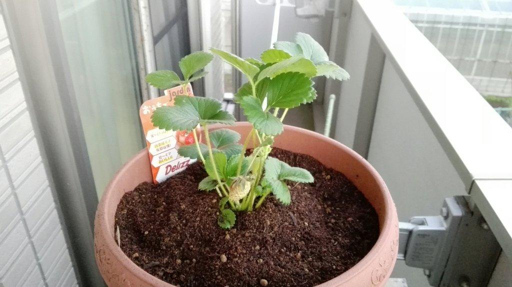 イチゴ植え付け直後