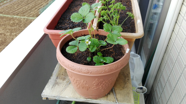 イチゴ植え付け完了