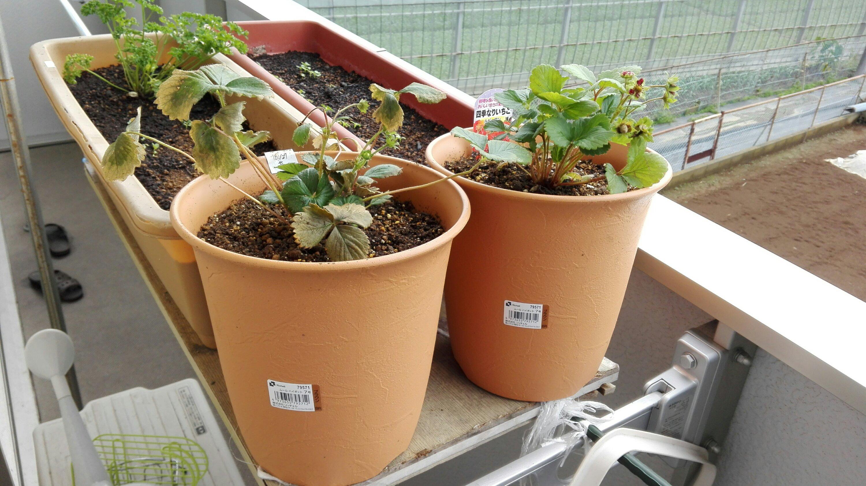 ベランダ菜園のイチゴ植え付け直後