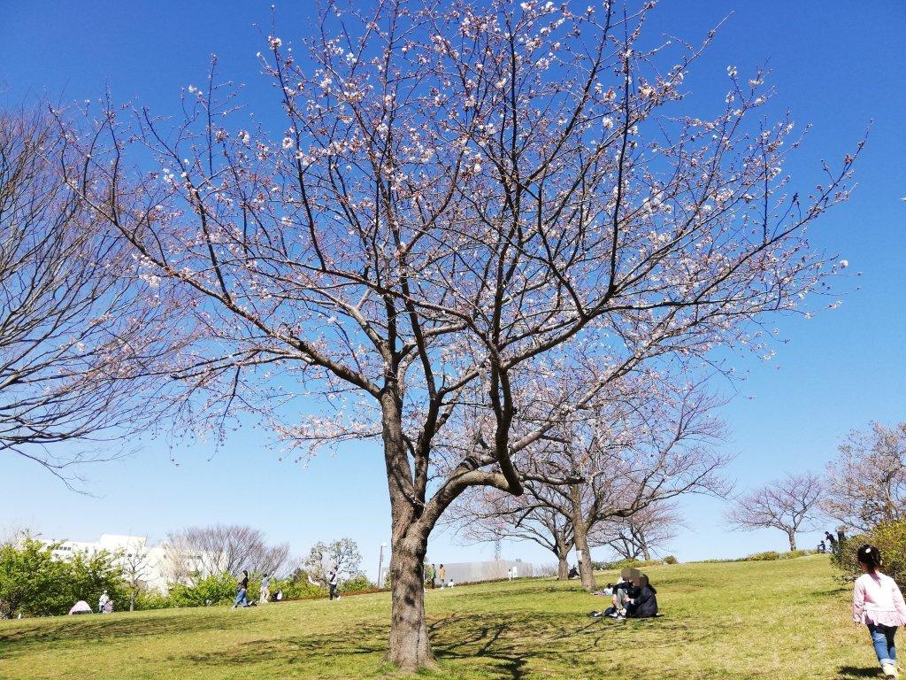 江戸川区葛西のなぎさ公園の桜
