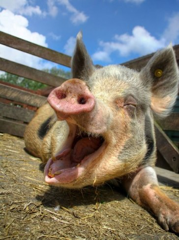 Interesting animal facts - Pigs