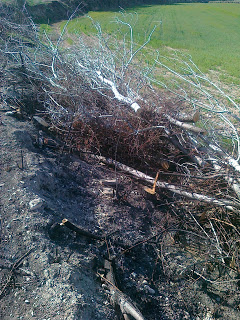 Plantada a la Via Verda – i tallada a Anglesola