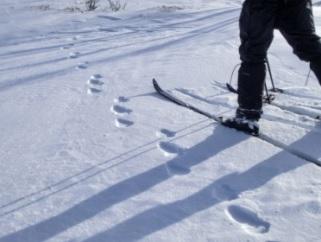 Bildet viser trespor etter jerv, det vil si at en av bakføttene settes i ett av forfotsporene. I dyp snø beveger jerven seg ofte i sprang, og da er parspor det vanligste. Foto: Olav Hogstad