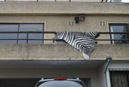 Zebra Print Rug Draped on Balcony, Renaca