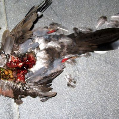 dead bird with guts spilling out
