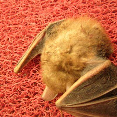 Furry Dead Bat