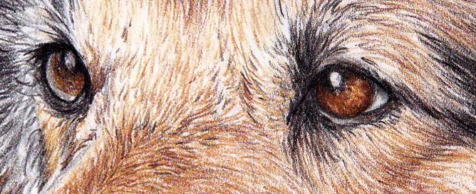 pet portrait showing dogs eyes