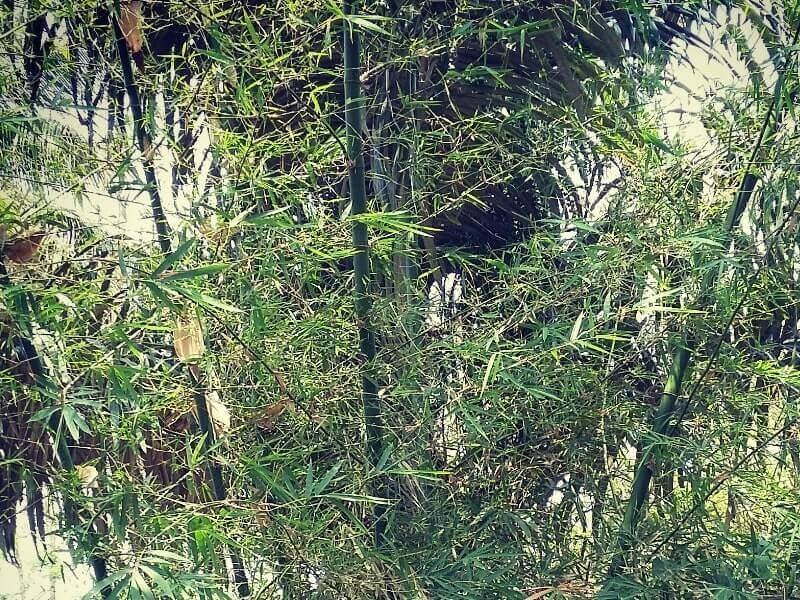 bambu haur geulis