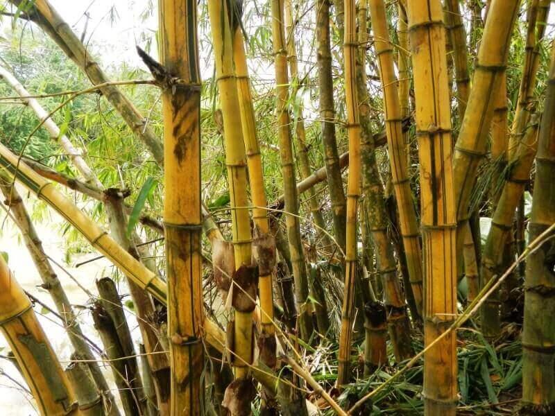 bambu haur kuning
