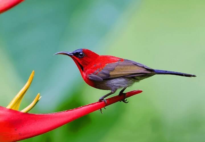jenis burung kolibri sepah raja