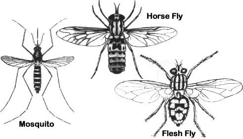 Order Diptera | ENT 425