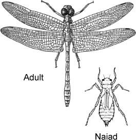 Order Odonata | ENT 425