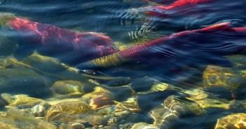 sockeye-salmon-52272_960_720