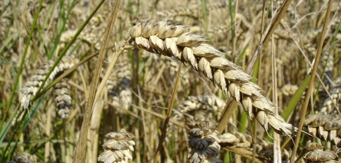 1024px-wheat_close-up