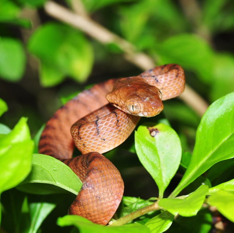 Brown tree snake looking at you
