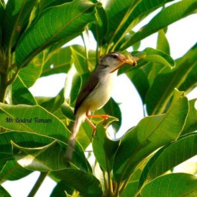 taksonomi burung perenjak padi