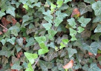 Ivy on Princeton's campus