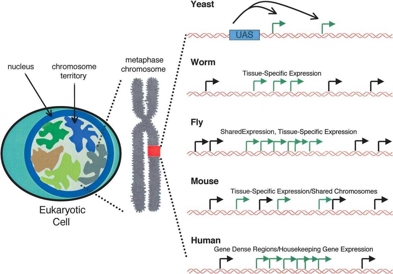 Form Follows Function The Genomic Organization Of