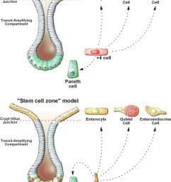 intestine cell diagram [ 952 x 1280 Pixel ]